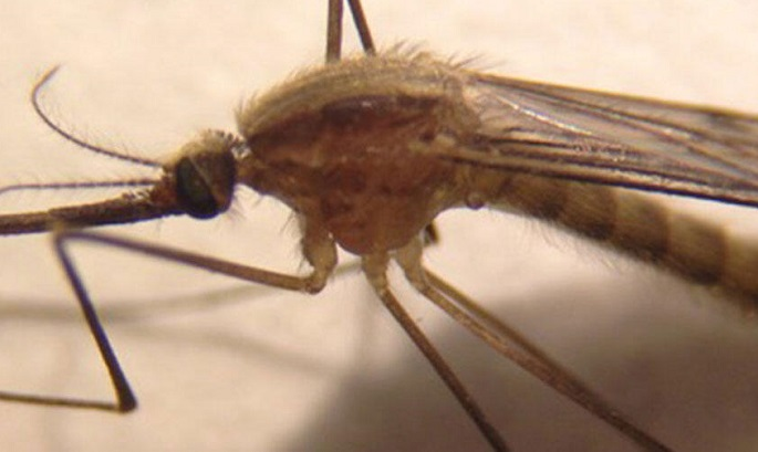 Newly spotted mosquito may spread malaria