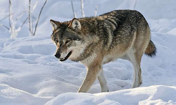 Number of wolf packs increases in country